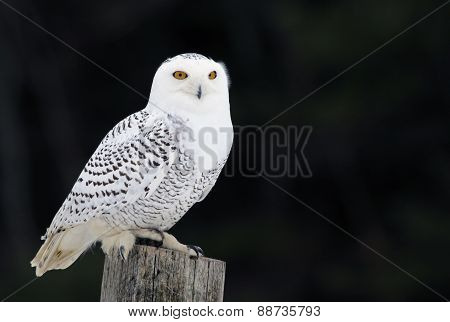 Snowy Owl on a Post