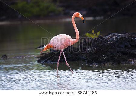 Flamingo en Galapagos