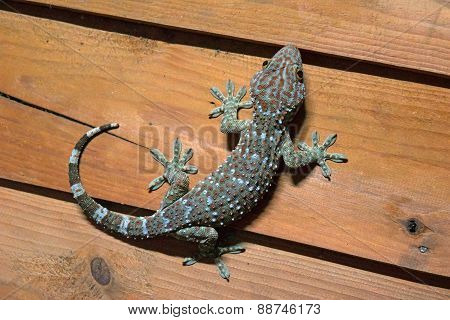 gecko is peel the light blue and orange on wood wall