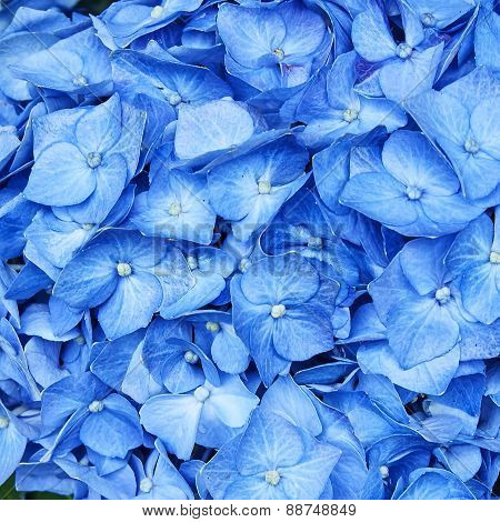 Hortensia flowers close up natural background