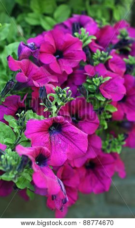 Petunia surfina plant in magenta color