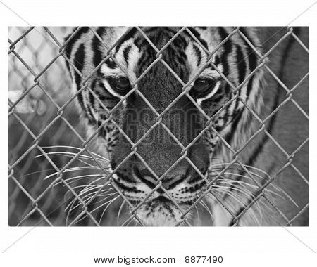 This photo is of a Bengal tiger in captivity. poster