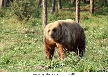 brown bear (ursus arctos)are standing and shaking his head poster