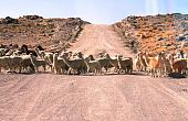 Lamas and Alpacas crossing the road in the Andes mountains in Peru poster