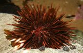 an underwater sea urchin creature found in the great barrier reef in australia poster