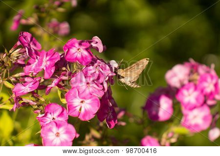 butterfly collects nectar