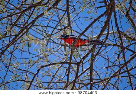 Colorful crimson-breasted shrike (Laniarius atrococcineus), african bird