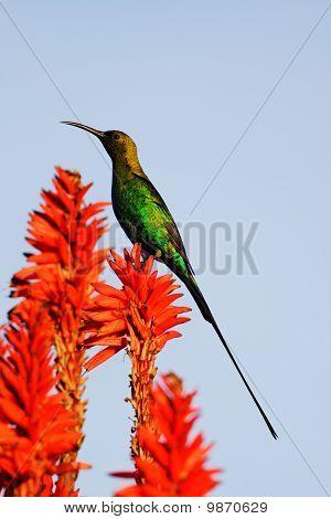 Male Malachite Sunbird (Nectarinia famosa) in eclipse plumage