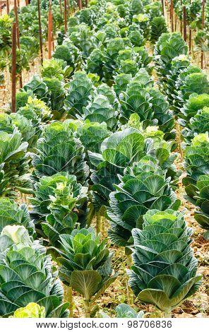Organic Green  Ornamental Cabbage.