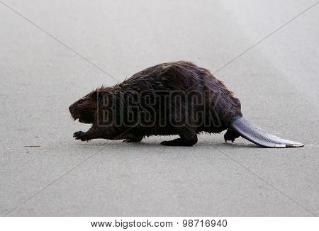 The North American Beaver Is Going Across The Road