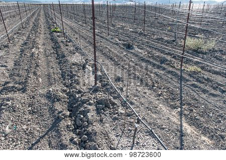 Vinyard With No Wine Grapes Growing In Dirt