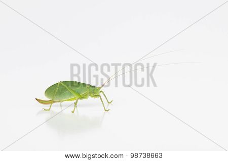 Female Katydid With Ovipositor