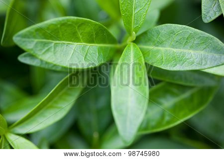 Green Leaves Of The Vinca
