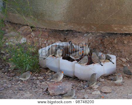 Australian Zebra finch