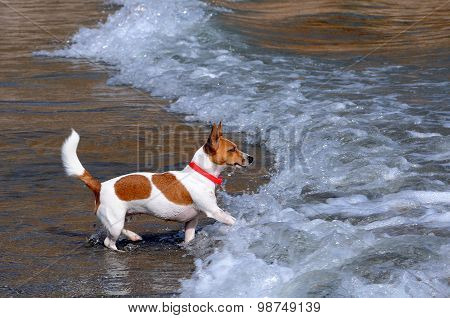 Jack Russsel Terrier On The Beach