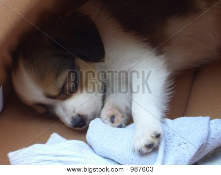 Little Puppy Sleeping