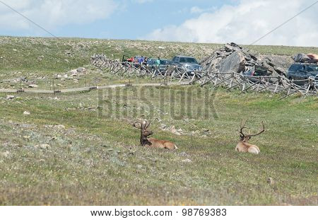 Elk And The Tourists