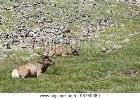 Lazy Elk