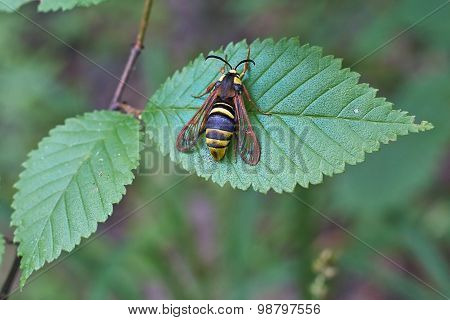 Insect On Nettle Leaves.