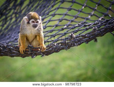Squirrel Monkey On A Net
