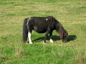 dark brown and white horse eating grass poster