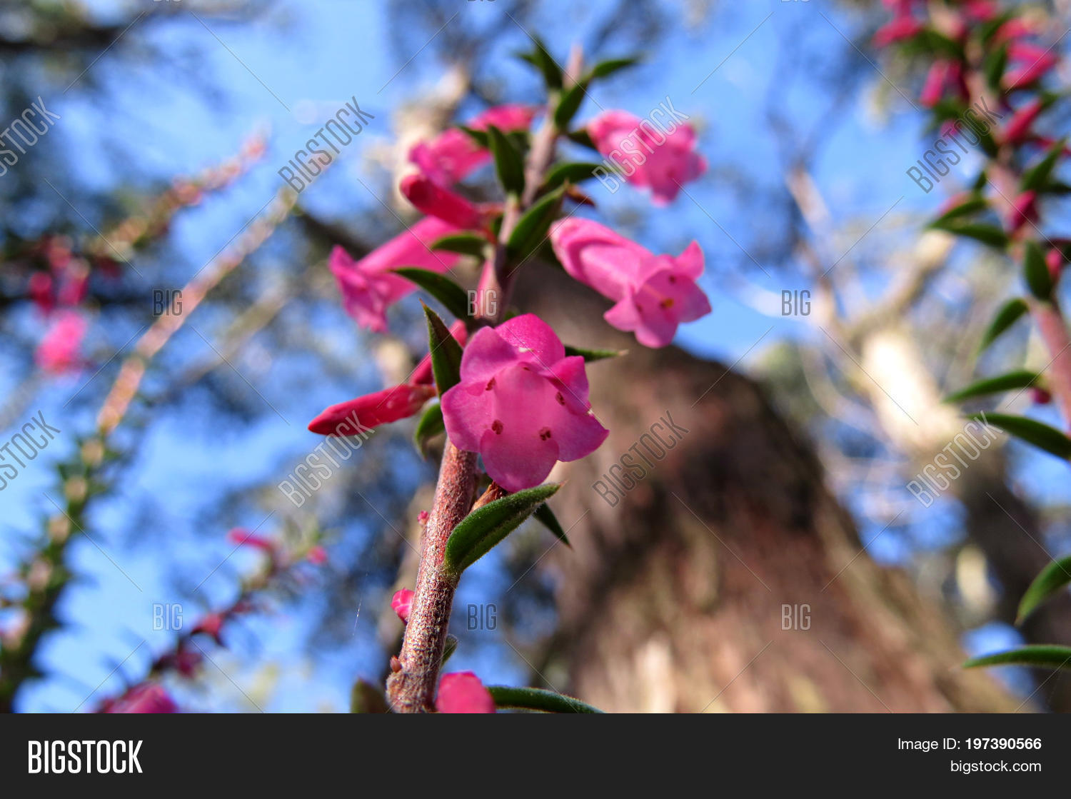 Pink Correa Flowers Image Photo Free Trial Bigstock