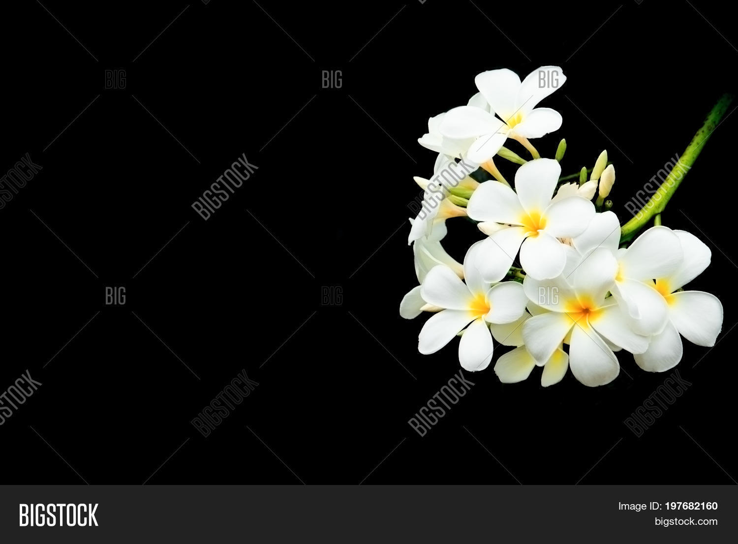 Plumeria Flower White Image Photo Free Trial Bigstock