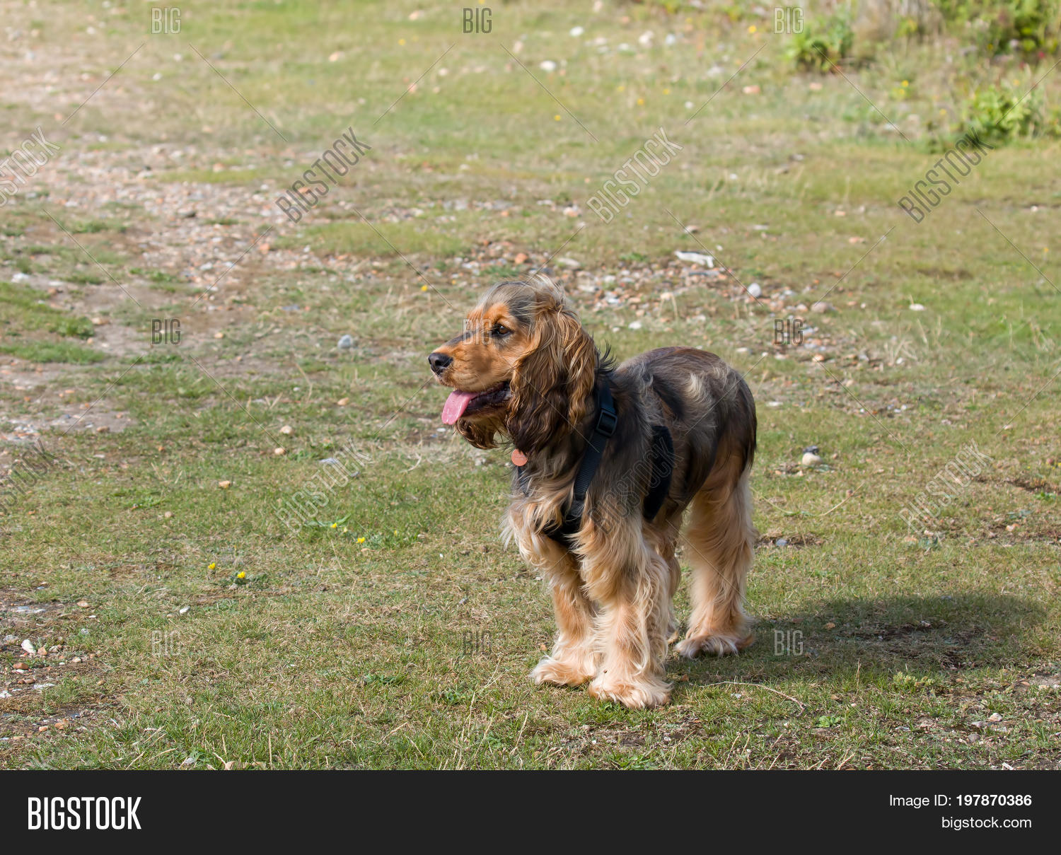 Eight Month Old Sable Image Photo Free Trial Bigstock