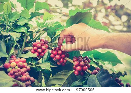 Hand picking coffee beans from branch of coffee plant - vintage style color effect hand focused