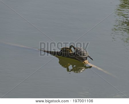 Love-making of two tortoises or terrapin on the fallen tree in pond, Sofia, Bulgaria