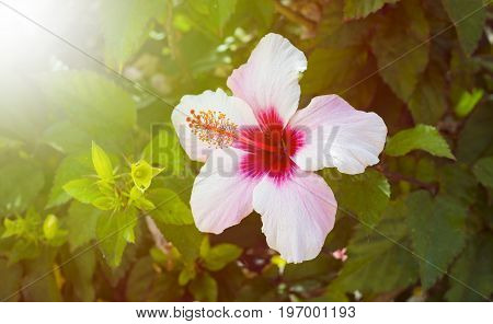 White lily flower with red stamen and morning sun light
