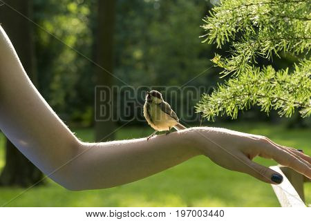 wild bird tit titmouse tomtit chickade with yellow feathers sits on the girl's hand in the green garden