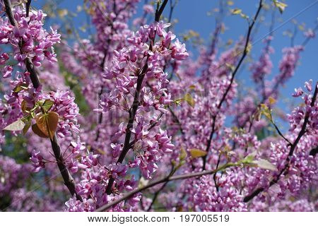 Branches Of Flowering Cercis Canadensis Against Blue Sky