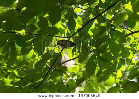bird with yellow feathers titmouse tomtit chickadee sits among the tree branches crowns of trees green leaves
