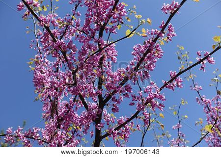 Flowers And Leaves Of Cercis Canadensis Against The Sky