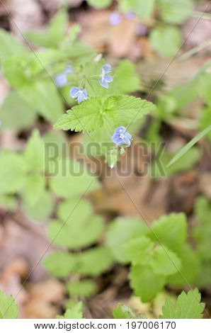 Forget Me Not, Small Flowers In The In The Garden