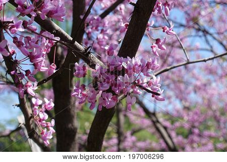 Honey Bee Pollinating Cercis Canadensis In Spring