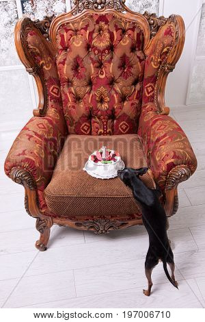 Favorite pet birthday party celebration. Tasty cake for Toy Terrier