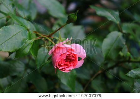 A single red rose on the bush. Rose Bush in the garden. Landscaping. Caring for garden shrubs. Wallpaper for desktop, foto for calendar