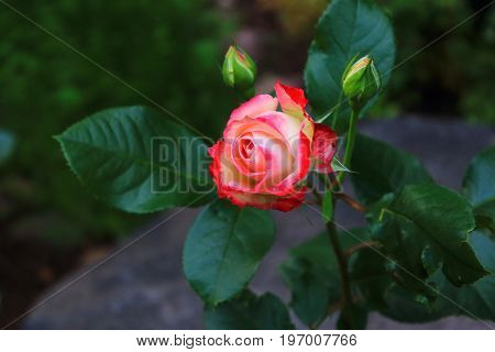 A single red rose on the bush. White rose with red trim. Love rose and heart. Rosebud with leaves in the garden. Landscaping. Caring for garden roses shrubs. Wallpaper for desktop, foto for calendar