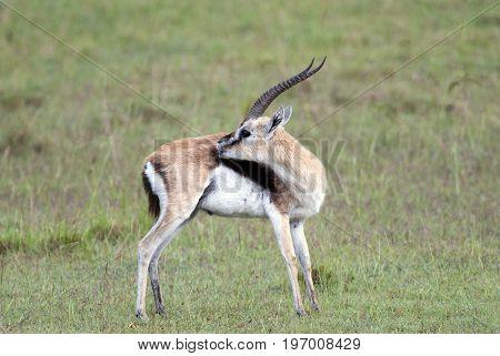 Beautiful Thomson's gazelle on the background of the African savannah Kenya