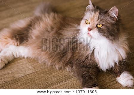 Bushy cat laying on wooden floor. Beautiful family pet with fluffy fur and yellow eyes looking up, close up portrait
