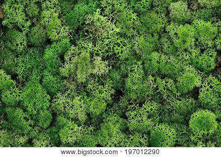 Reindeer moss wall, green wall decoration made of reindeer lichen Cladonia rangiferina, color of the year 2017, isolated on white, usable for interior mock ups.Texture