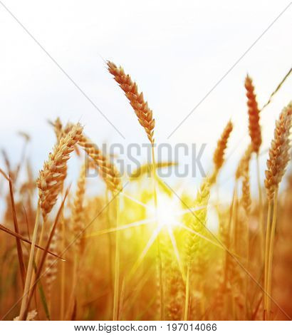 Field of yellow wheat at sunny day, harvesting time