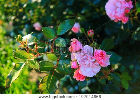 Rose Bush in the garden. Pink and red roses on the bushes. Landscaping. Caring for garden shrubs. Wallpaper for desktop, for calendar