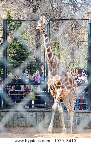 Moscow Russia- May 01: Giraffe in a cage in Moscow zoo on May 01 2017. Moscow Zoo is the first zoo in Russia founded in 1864 by Russian Imperial Society of Acclimatization of animals and plants.