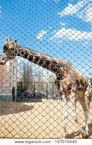 Moscow Russia- May 01: South African giraffe in Moscow zoo on May 01 2017. Moscow Zoo is the first zoo in Russia founded in 1864 by Russian Imperial Society of Acclimatization of animals and plants.