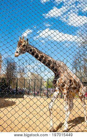 Moscow, Russia- May 01: Giraffe in a cage in Moscow zoo on May 01, 2017. Moscow Zoo is the first zoo in Russia founded in 1864 by Russian Imperial Society of Acclimatization of animals.