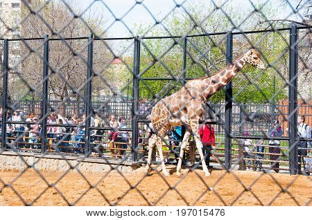 Moscow Russia- May 01: Crowd of locals and tourists look ot Giraffe in Moscow zoo on May 01 2017. Moscow Zoo was founded in 1864 by Russian Imperial Society of Acclimatization of animals and plants.
