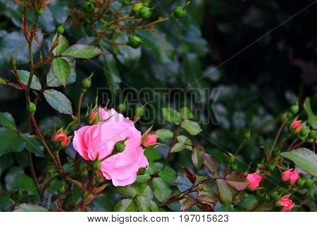 Rose Bush in the garden. Green grass background with rose. Pink and red roses on the bushes. Landscaping. Caring for garden roses shrubs. Wallpaper for desktop,  for calendar